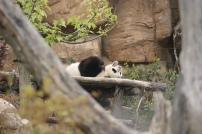 Panda @desperatecouchpotatoe